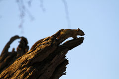 Przylądek Zmielona wiewiórka Zdjęcia Stock