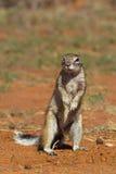 Przylądek Zmielona wiewiórka lub afrykanin Zmielona wiewiórka Obrazy Stock