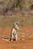 Przylądek Zmielona wiewiórka lub afrykanin Zmielona wiewiórka Fotografia Royalty Free