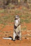 Przylądek Zmielona wiewiórka lub afrykanin Zmielona wiewiórka Obrazy Royalty Free