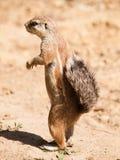 Przylądek zmielona wiewiórka zostaje na tylnym noga zegarka neighbourhood blisko - Xerus inauris - Obrazy Stock