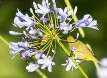 Przylądka agapanthus i oko Zdjęcie Royalty Free