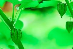 Przylądka agrest jest innym ziele który powszechnie znajduje Obraz Stock