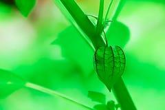 Przylądka agrest jest innym ziele który powszechnie znajduje Obraz Royalty Free