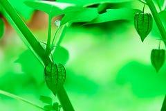 Przylądka agrest jest innym ziele który powszechnie znajduje Fotografia Royalty Free