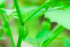 Przylądka agrest jest innym ziele który powszechnie znajduje Obrazy Royalty Free