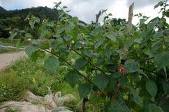 Przylądka agrest w ogródzie Zdjęcia Stock