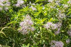 Przylądka cisawy drzewo Fotografia Stock