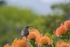 Przylądka Cukrowy ptak z z powrotem kamera Obrazy Stock