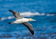 przylądka gannet Fotografia Royalty Free