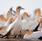 przylądka gannet Zdjęcie Royalty Free