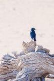 Przylądka glansowany szpaczek na drzewie w Etosha parku narodowym, Zdjęcia Stock