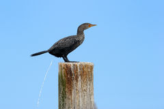 przylądka kormoran Zdjęcie Stock