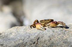 Przylądka Rockowy krab Zdjęcia Royalty Free