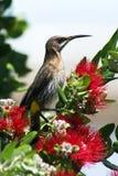 przylądka sugarbird Zdjęcie Royalty Free