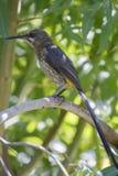 Przylądka sugarbird (Promerops cafer) Obraz Royalty Free