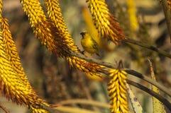 Przylądka tkacza ptak na Aloesu ferox Fotografia Stock
