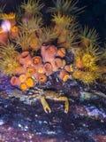 Przylegać kraba przy nocą Obrazy Royalty Free