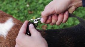 Przymocowywać smycz psi ` s kołnierz Przygotowywać dla spaceru z psem zdjęcie wideo