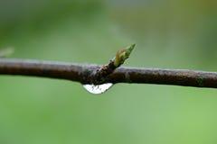 Przypływ strąki na nagiej gałązce Fotografia Royalty Free