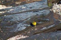 Przypływu basen żółtego Warbler Galapagos, Ekwador (,) Obraz Royalty Free