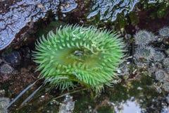 Przypływu basenu anemon obraz royalty free