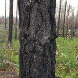 Przypalający drzewny bolus zdjęcia royalty free