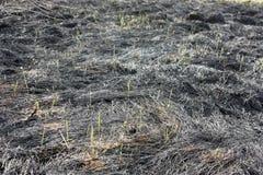 Przypieczona ziemia, wiosna ogienie Pole z palącą trawą Zniszczenie insekty Młodzi trawy trawy trzony zdjęcie royalty free