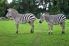 przyrod parkowe zebry Fotografia Royalty Free