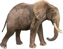 Przyroda Afrykańskiego słonia odprowadzenie, Odizolowywający Zdjęcie Royalty Free