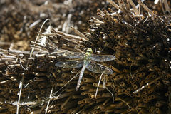 Przyroda: Dragonfly Obraz Royalty Free
