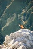 Przyroda giemza w górach wysokie tatras Obrazy Royalty Free