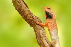 Przyroda India Indianin Ogrodowa jaszczurka Calotes versicolor, szczegółu oka egzotyczny zwrotnika zwierzę w zielonym natury sied zdjęcia royalty free