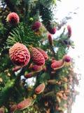 Przyroda, jedlina, rożki, piękno Zdjęcie Royalty Free
