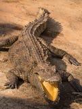 Przyroda krokodyl od naturalnego Obrazy Royalty Free