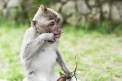 Przyroda Małpi portret Obraz Stock