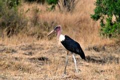 Afryka bocian Zdjęcie Royalty Free