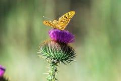 Przyroda motyl siedzi na kyrgyz Cirsium Obrazy Stock