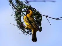 Przyroda ptak w Gambia Zdjęcie Royalty Free