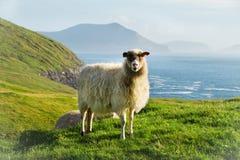 Przyroda w Faroe wyspach zdjęcie royalty free