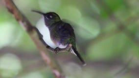 Przyroda w zwrotnika Sternoclyta cyanopectus Fiołkowym chested hummingbird umieszczał w tropikalnym lesie deszczowym zdjęcie wideo