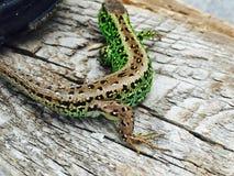 Przyroda, zwierzęta, jaszczurka, zieleń, piękno Zdjęcie Stock