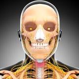 Przyrodni widok układ nerwowy gardło i głowa Zdjęcie Royalty Free
