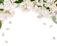 Przyrodnia rama od czystych jasmin kwiatów odizolowywających na bielu Zdjęcia Royalty Free