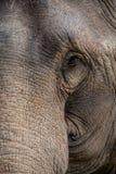 Przyrodnia twarz słoń Obraz Stock