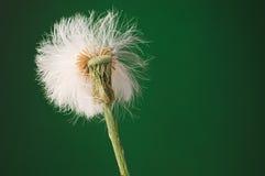 Przyrodnia wystrzelona biała bufiasta dandelion ziarna głowa przeciw ciemnemu gree out Obrazy Royalty Free