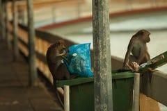 Przyrody łasowania małpi jedzenie od plastikowego worka zamykał śmieci, Brunei Obraz Stock
