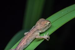 Przyrody jaszczurka Zdjęcia Stock