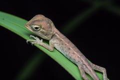 Przyrody jaszczurka Zdjęcie Royalty Free