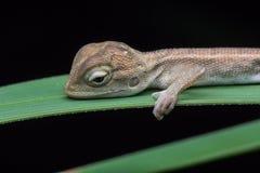Przyrody jaszczurka Zdjęcie Stock